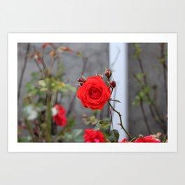 Red Orange Rose Art Print
