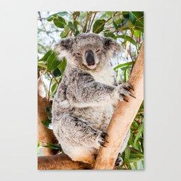 Shh! It's Nap Time, Koala, Australia Canvas Print