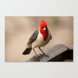 Red Crested Cardinal Canvas Print
