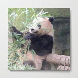 Panda eating bambou Metal Print
