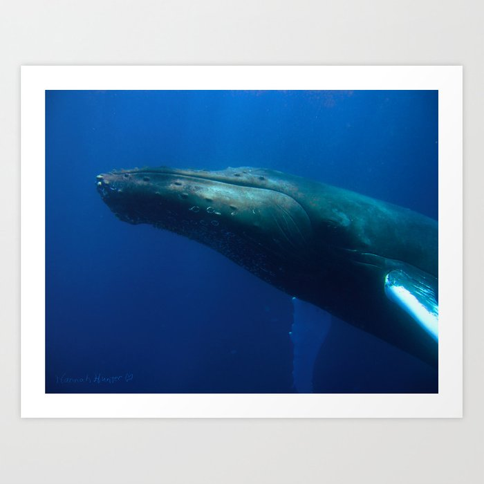 Humpback Whale checks me out Art Print