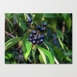 Evening Berries Canvas Print