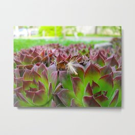 Houseleek with fluff Metal Print