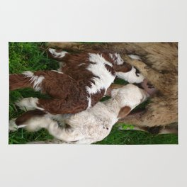 Twin Lambs Suckling From Their Mother Rug