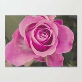 Close up of a rose Canvas Print