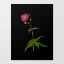 Mary Delany Floral Collage Vintage Botanical Art Valeriana Rubra Canvas Print