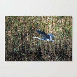 grey heron in flight ( Japan ) Canvas Print