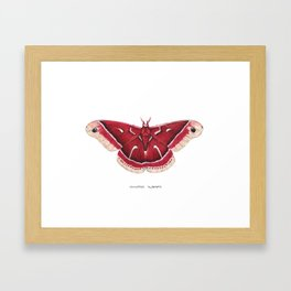 Ceanothus Silkmoth (Hyalophora euryalus) Framed Art Print
