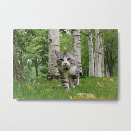 The cat has been a walk in the birch forest. Metal Print