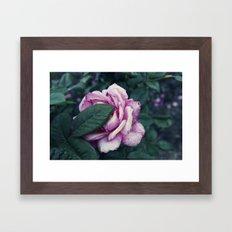Rose Study 7 Framed Art Print