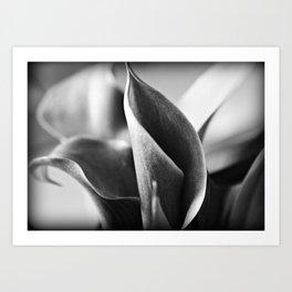 Calla Lilies Art Print