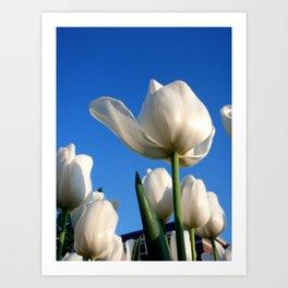 White Tulips, Day Two Art Print