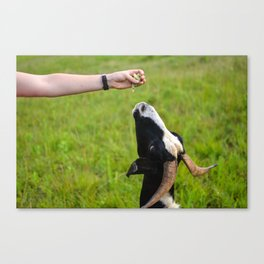Being Fed Canvas Print