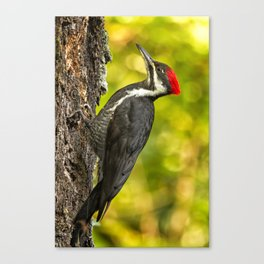 Female Pileated Woodpecker No. 2 Canvas Print