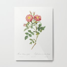 Queen Elizabeths Sweetbriar Rosehip of Queen Elizabeth (Rosa rubiginosa zabeth) from Les Roses (1817 Metal Print