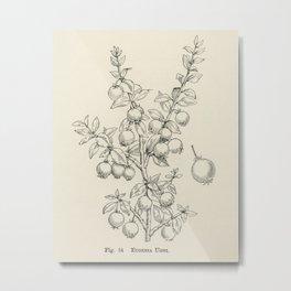 The fruit grower's guide  Vintage illustration of eugenia ugni Metal Print