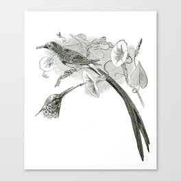 Vintage Black and White Illustration of African Sunbirds Canvas Print