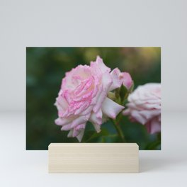 Blooming Pink Roses in the Evening Garden Mini Art Print