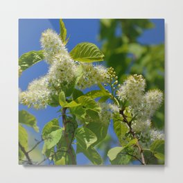 Mayday Tree in Bloom Metal Print