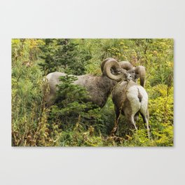 Two Rams Canvas Print