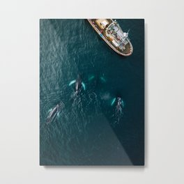 School of humpback whales playing with a boat Metal Print