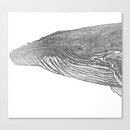 Grey Humpback whale portrait Canvas Print
