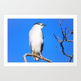Blue Sky Brilliant Black Crowned Night Heron by Reay of Light Art Print