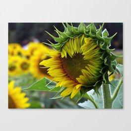 Sunflower Unfolds Canvas Print