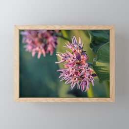 Showy Milkweed Framed Mini Art Print