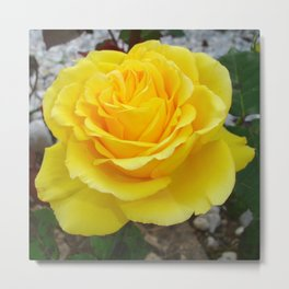 Golden Yellow Rose with Garden Background Metal Print