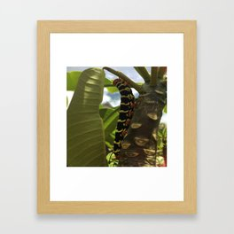 Frangipani Caterpillar Framed Art Print