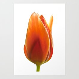 tulip pictures Art Print
