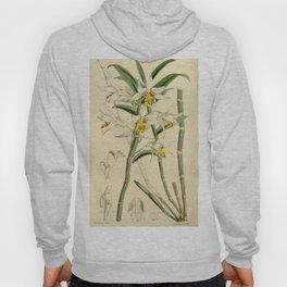 Dendrobium xanthophlebium (as Dendrobium marginatum Bateman ex Hook.f.) Curtis' 90 (Ser. 3 no. 20) Hoody