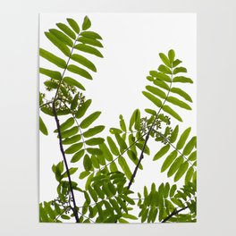 Green Rowan Leaves White Background #decor #society6 #buyart Poster