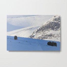 Norway Musk Ox Metal Print