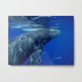 Underwater Humpbacks 12 Metal Print