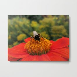 Bee on Mexican Sunflower Metal Print