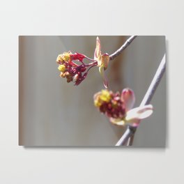 Purple Maple Tree Just Starting to Bud in the Spring Metal Print