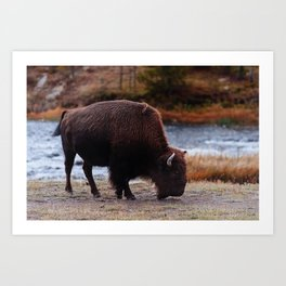 Buffalo by the Fire Hole River Art Print