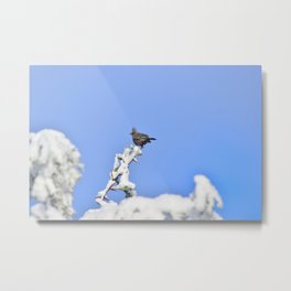 Phainopepla in the Snow Metal Print