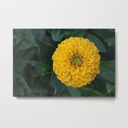 Yellow Zinnia Metal Print