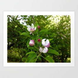 Apple Blossoms In Spring Time Art Print