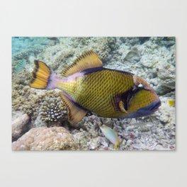 Titan Triggerfish, Vilamendhoo, Maldives Canvas Print