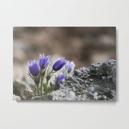 Cluster of Pasque Flowers Metal Print