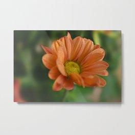 Сhrysanthemum Metal Print