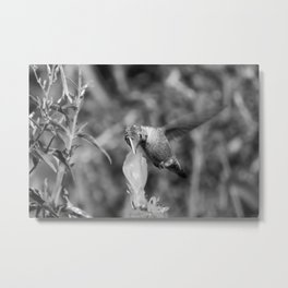 Hummingbird and the Flower- Black and White Metal Print