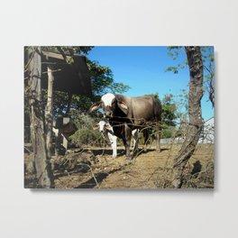 costa rican cows. Metal Print