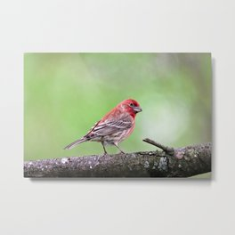Fancy Finch Metal Print