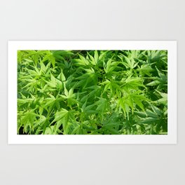 Keep calm and refresh with green momiji leaves Art Print