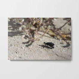 Closeup Black Blister Beetle... 2 Metal Print